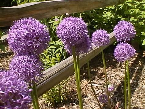 flowering onions how to grow propagate and care for