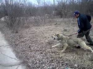 Central Asian Shepherd Dog Courage Test - YouTube