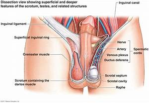 Penile penetration of cervix in humans