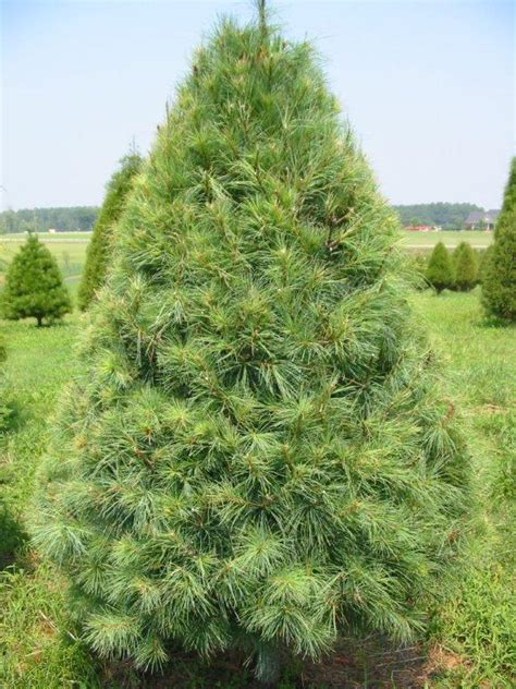 white pine tree video search engine at search com