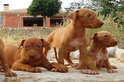 podenco canario info temperament puppies pictures