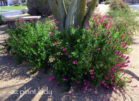 flowering shrubs zone 9 plant palette for new landscape area trees and shrubs ramblings from a desert garden