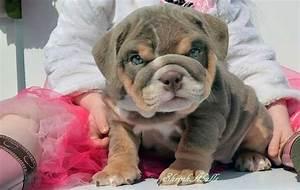 Brown mini #english #bulldog #puppy. What a beautiful ...