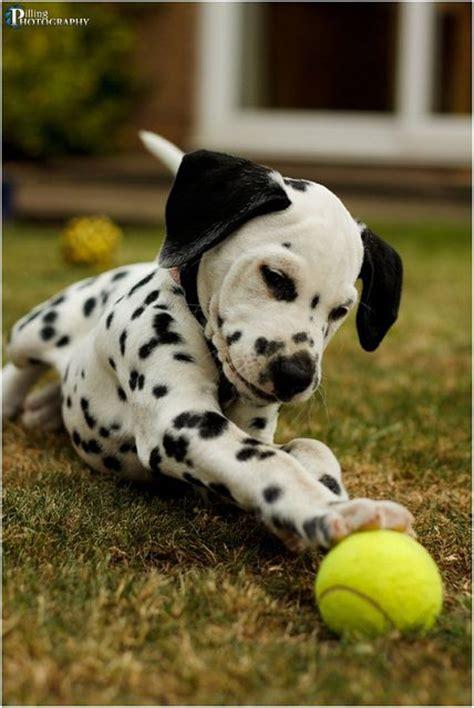 les 218 meilleures images 224 propos de and fuzzy sur dalmatiens chiots husky et