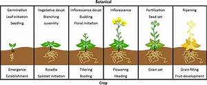 Typical Stages Within The Crop Cycle  With Corresponding