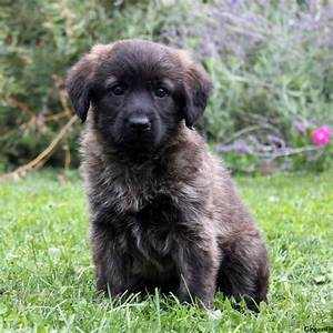 Gina - Shepadoodle Puppy For Sale in Pennsylvania