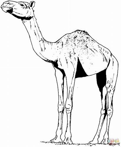 Camel Coloring Pages Camels Dromedary Face Animals