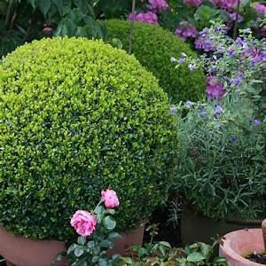 Plantes Et Jardin : buis commun en boule plantes et jardins ~ Melissatoandfro.com Idées de Décoration