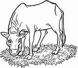 Cow Coloring Printable Cows Coloringme Source sketch template