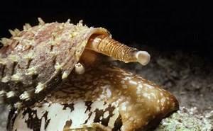 Ślimak z rodziny stożkowych - Coninae