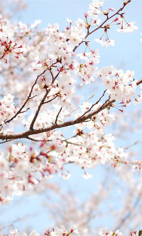 cherry tree sakura flower wallpaper  desktop