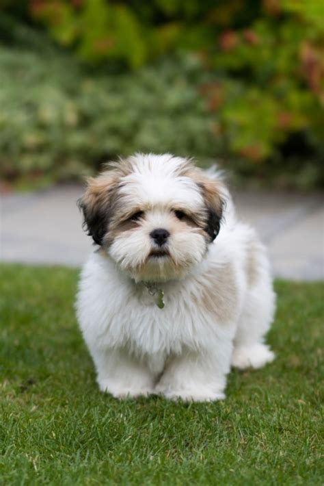 Lhasa Apso Shih Tzu Mix Shedding by Lhasa Apso Beefeaters