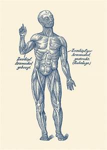 German Diagram Arm Muscular System