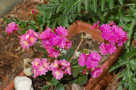 lewisia rainbow  flower colors place  history