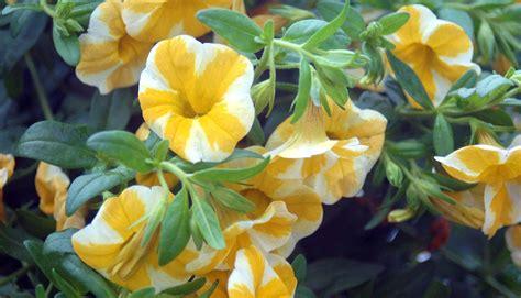 flowers annuals perennials johnsons gardens