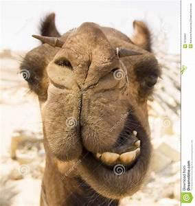 Course De Chameau : t te de chameau photographie stock libre de droits image 16722697 ~ Medecine-chirurgie-esthetiques.com Avis de Voitures