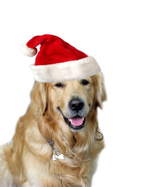 dog christmas hat santa hat free stock photo domain pictures