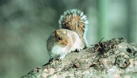 the average life span of a grey squirrel animals mom me