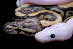 til that some leucistic ball pythons have anime eyes