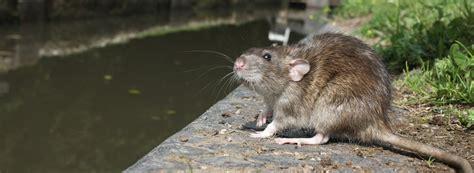 gegen ratten vorgehen schadnager m 228 use und ratten unterscheiden