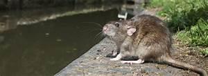 Unterschied Maus Ratte : schadnager m use und ratten unterscheiden ~ Lizthompson.info Haus und Dekorationen