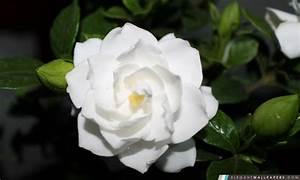 Fleur Rose Et Blanche : fleur blanche fond d 39 cran hd t l charger elegant wallpapers ~ Dallasstarsshop.com Idées de Décoration