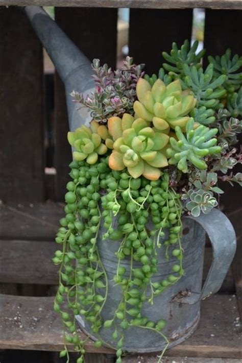 watering succulents in containers succulents in watering can garden inspiration pinterest