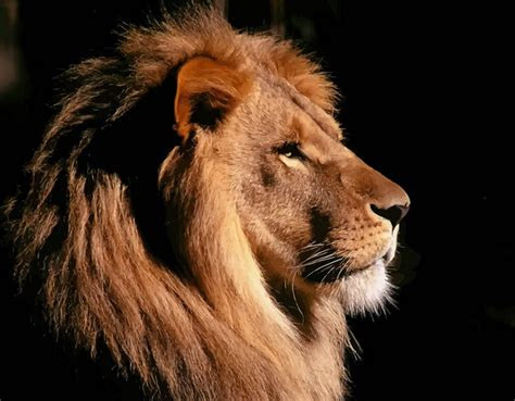 Shed Free Large Dogs by Picture Of A Lion Head Lion Pet Photos Gallery 0wkd0gakqd