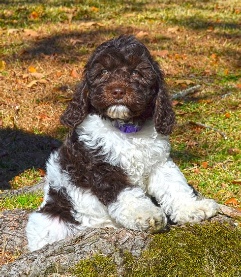 parti colored barksdale introduces parti labradoodles barksdale