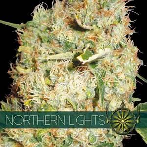 Northern Lights Feminised Cannabis Seeds   Vision Seeds