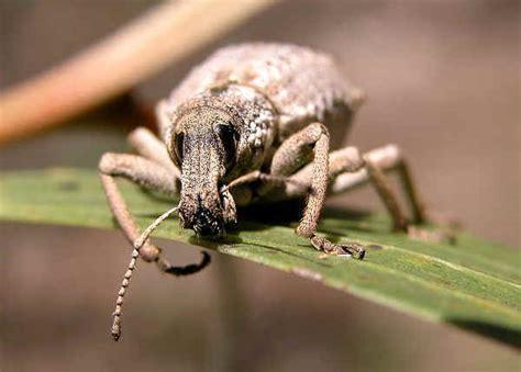 wattle pig leptopius maleficus  leptopius nodicollis