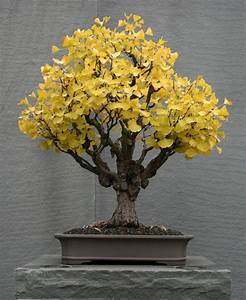 Bonsai Baum Arten : 25 trendige bonsai baum ideen auf pinterest bonsai baum ~ Michelbontemps.com Haus und Dekorationen