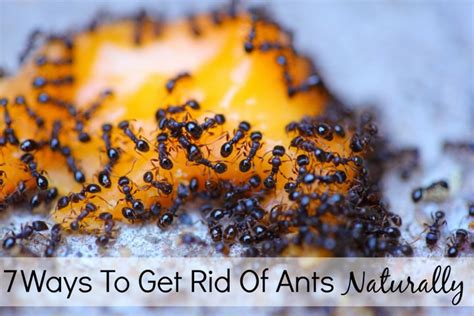 7 ways to get rid of ants naturally handy diy