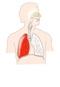 unlabelled respiratory system clip art  clkercom