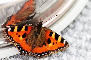 Was Machen Schmetterlinge Im Winter : schmetterling im winter foto bild tiere tier und ~ Lizthompson.info Haus und Dekorationen