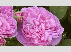 The city gardener the damask rose's history and appeal