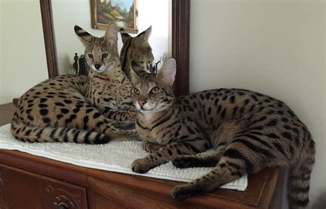 Savannah Cat Size, Owners Want Their Savannah Cats To Be Big