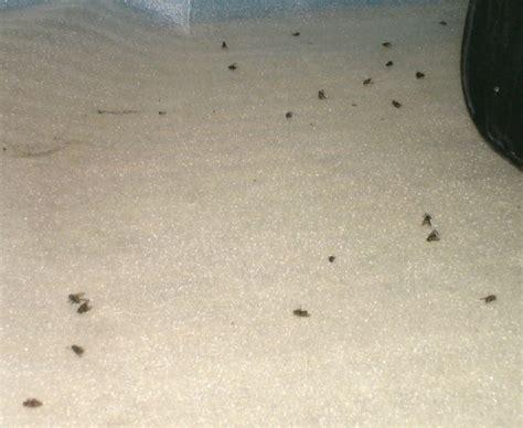 mouches tue animaux oeufs larves devore les animaux vivants