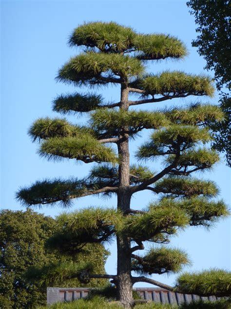 Japanische Bäume  Aus Tokyo