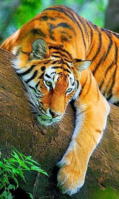 Best Tigers Images Pinterest Big Cats Wild