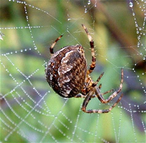 Wildlife Gardening Spiders
