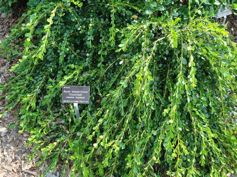 Weeping boxwood Buxus 'Unraveled' at J C Raulston