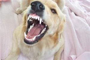 golden retriever growling