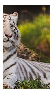 White Tiger Wallpapers Images Photos Pictures Backgrounds