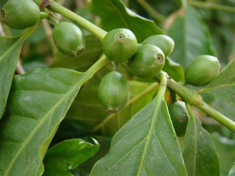 Coffee plants enjoy humidity so if your home is very dry, mist the leaves daily. Coffea Arabica - Coffee Plant and Fruit