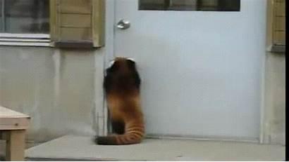 Panda Door Trying Open Gifs Animal Funny
