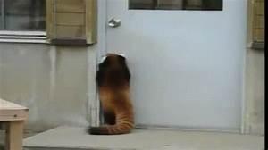 JOY OF PETS: Red Panda trying to open a door