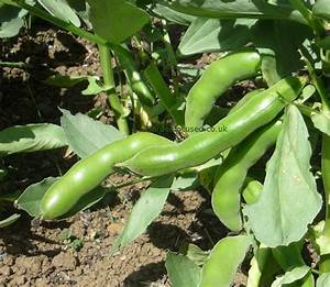 Expert Advice On Growing Broad Beans