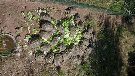 pr 233 l 232 vements captivit 233 et rel 226 chers tortue d hermann