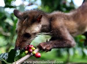 civet cat coffee civet cats in caffeine hit buying literally coffee